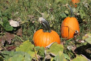 Open For PYO Pumpkins & Harvest Barn - Saturday & Sunday @ Angevine Farm